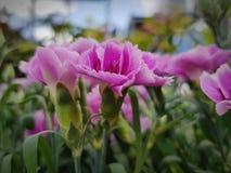 Clous de girofle roses illustration de vecteur