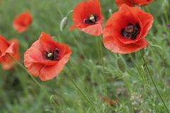 Clous-up poppy Stock Photo