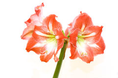 Hippeastrum Stock Photo
