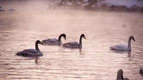 Clouse övre sikt till svanar i sjön stock video