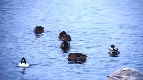 Clouse επάνω στην άποψη στις πάπιες στη λίμνη απόθεμα βίντεο