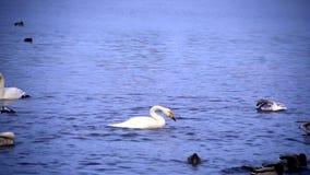 Clouse επάνω στην άποψη στους κύκνους στη λίμνη φιλμ μικρού μήκους