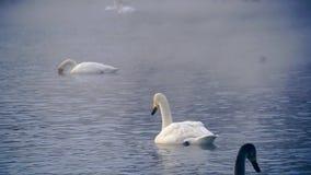 Clouse επάνω στην άποψη στους κύκνους στη λίμνη απόθεμα βίντεο