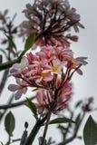 Clouse acima da flor cor-de-rosa do plumeria da cor no por do sol Imagem de Stock Royalty Free