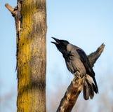 Clouse- acima de gritar o corvo preto na ?rvore fotos de stock royalty free
