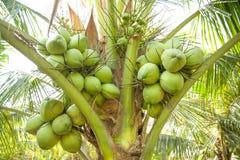 Clouse acima, grupo dos cocos na árvore de coco fotos de stock royalty free