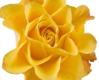 Clouse del amarillo se alzó Imagenes de archivo