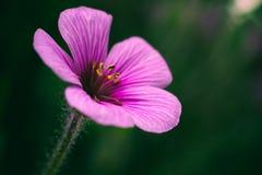 Clouse encima de la flor rosada Fotos de archivo