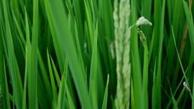 Clouse herauf leptocorisa acuta oder Reisohrwanze stock video footage