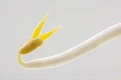 Clouse su beansprout nel fondo bianco Immagini Stock Libere da Diritti