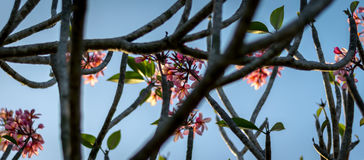 Clouse sulla plumeria rosa di colore fiorisce al tramonto Fotografie Stock