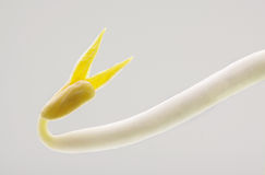 Clouse up beansprout in white background Royalty Free Stock Images