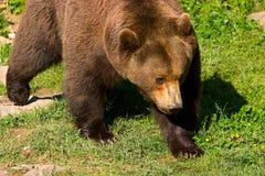 Clouse-up europeo dell'orso marrone Fotografia Stock