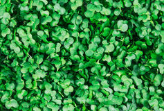 Clouse up of Fresh Green Cress Salad background, texture Stock Photography