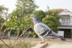Clouse up full body side view of pigeon bird perching on home lo Stock Image