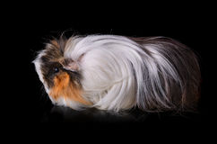 Clouse up of guinea pig Royalty Free Stock Image