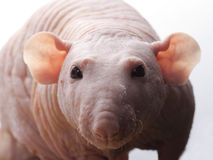 Clouse-up of hairless rat Royalty Free Stock Photo
