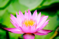 Clouse up image on blooming pink lotus flower natural background. Lotus leaf, Lily Pad with copy spce. lotus meaning and symbolism in Hinduism, Buddhism stock photos