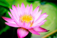 Clouse up image on blooming pink lotus flower natural background. Lotus leaf, Lily Pad with copy spce. lotus meaning and symbolism in Hinduism, Buddhism royalty free stock photos