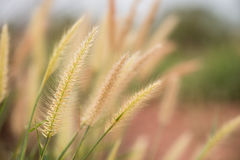 Clouse-up of long grass flower on sunset background Royalty Free Stock Image