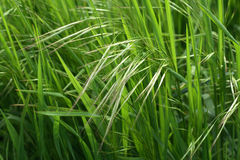 Clouse-up pieno di sole dell'erba verde Fotografia Stock Libera da Diritti