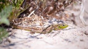 Clouse-up pstrobarwna jaszczurka chuje w suchej trawie przeciw tłu gorący piasek i rośliny Fotografia Stock