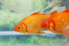 Clouse up of red koi Stock Images