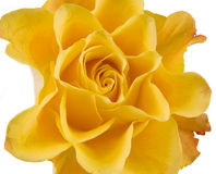 Clouse up of yellow rose. On the white Stock Images
