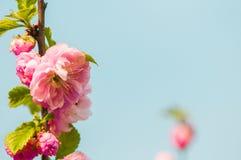 Clouse upp av den körsbärsröda blomningen Fotografering för Bildbyråer