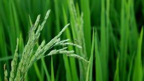 Clouse upp leptocorisaacuta eller ris gå i ax felet arkivfilmer