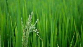 Clouse upp leptocorisaacuta eller ris gå i ax felet stock video