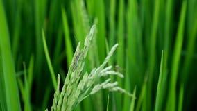 Clouse upp leptocorisaacuta eller ris gå i ax felet lager videofilmer