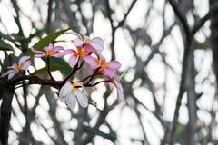 Clouse vers le haut de fleur rose de plumeria de couleur au coucher du soleil Photo libre de droits