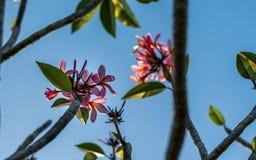 Clouse vers le haut de fleur rose de plumeria de couleur au coucher du soleil Photographie stock
