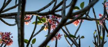 Clouse vers le haut de fleur rose de plumeria de couleur au coucher du soleil Photos stock