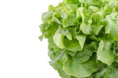 Clouse w górę świeżych zielonych dębowych sałatka liści Zdjęcia Stock
