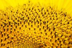 clouseup图象雄芯花蕊sunflovers 免版税图库摄影