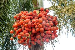 clouseup betel - καρύδι στοκ εικόνα με δικαίωμα ελεύθερης χρήσης