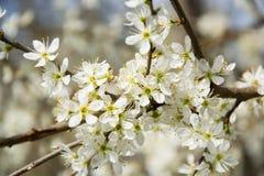 Clouseup da flor branca da ameixa Imagens de Stock Royalty Free