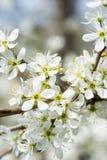 Clouseup da flor branca da ameixa Imagens de Stock