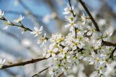 Clouseup da flor branca da ameixa, mola Imagens de Stock