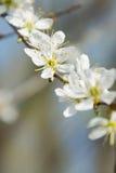 Clouseup da flor branca da ameixa, mola Imagens de Stock Royalty Free
