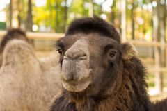 Clouseupportret van de kameel op aard stock foto