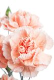 Clove. Beautiful flower on light background Stock Photography