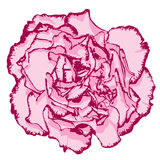 Clove flower with rose petals and pink edging. Vector illustration Stock Illustration