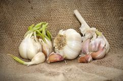 Clove of garlic. Romanian agriculture of garlic. Autentic vegetables Royalty Free Stock Image