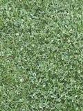 Clove Grass. Yard, land, earth stock photo
