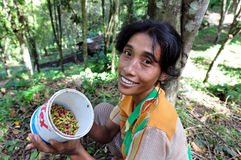 Clove harvest. Balinese worker showing clove after gathering Stock Photo