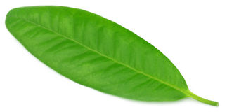 Clove leaf Stock Images
