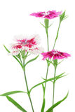 Clove pink flowers Royalty Free Stock Image